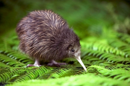 This North Island Brown is found in native forests, pockets of bush, pine forest, and scrub country. Kiwi birds can live up to 20-30 years in the wild. | wildearthnztravel.com
