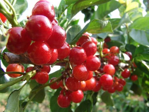 Cherry tree | zeehd.com