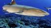 Pitcairn Island Shark