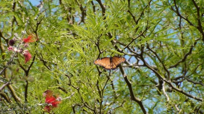(Queen Butterfly Visits the Desert. Credit: Elijah)