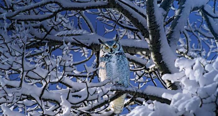 Great Horned Owl in Winter