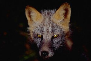Alaska. Kodiak. Camp Island. Fox eyes glow at night.